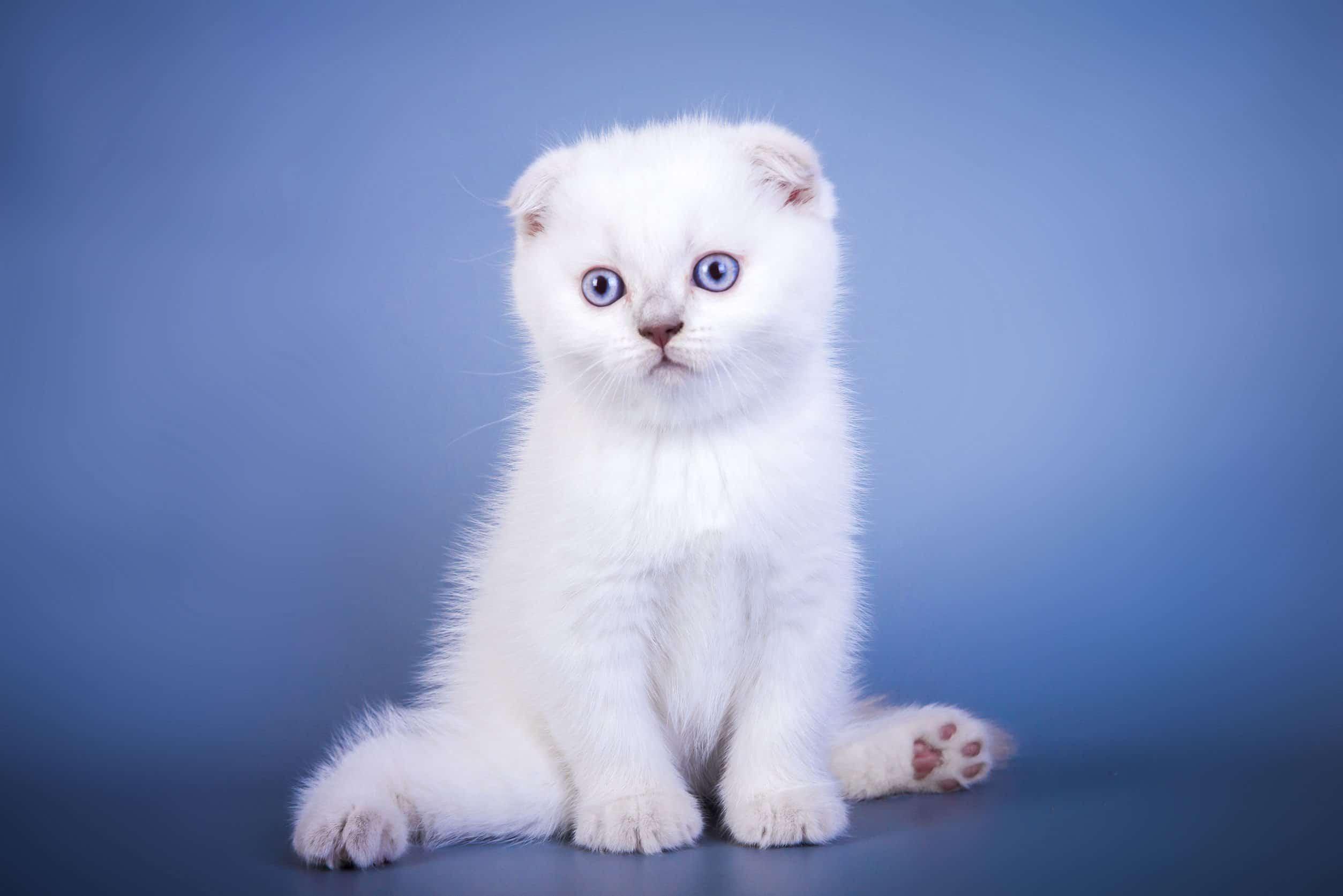 Scottish Fold Kot Szkocki Zwisłouchy Zwierzosfera