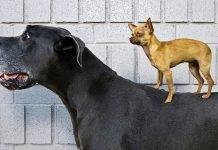 Duży mały pies