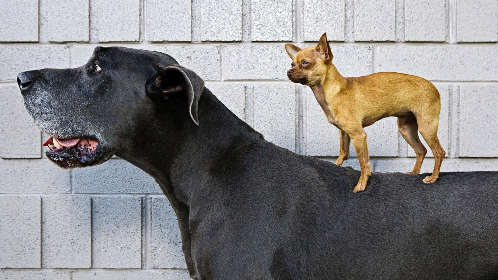 Czy Małe Pieski Są Mniej Groźne Niż Psy Dużych Ras Zwierzosfera
