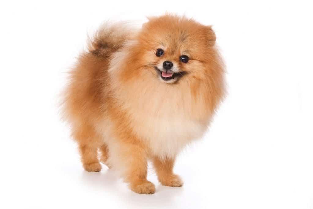 Pieski Kanapowe Małe I Miniaturowe Rasy Psów Cz 2 Zwierzosfera