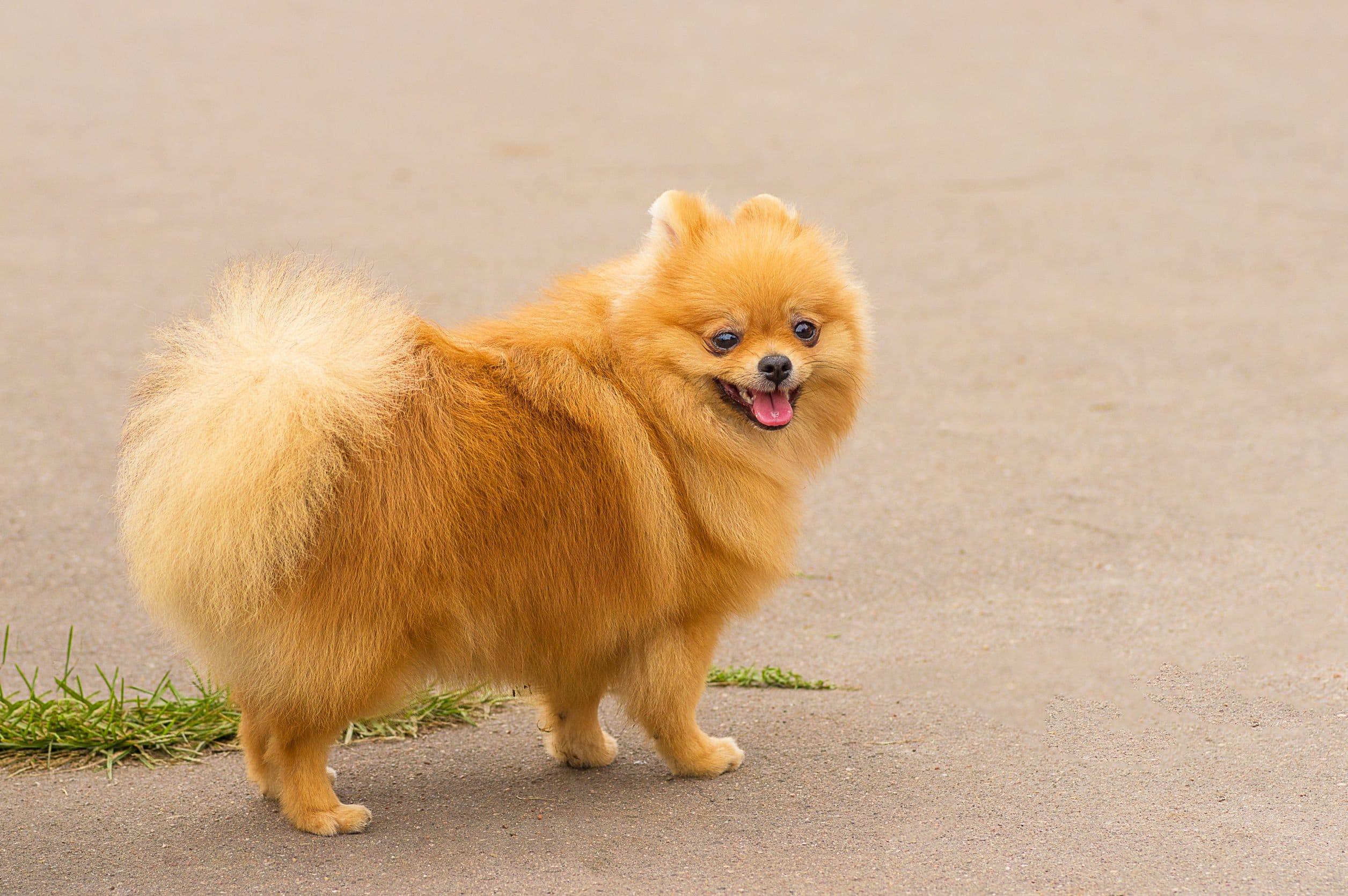 W Ultra Dla kogo szpic miniaturowy? Charakter i usposobienie psów tej rasy HW84