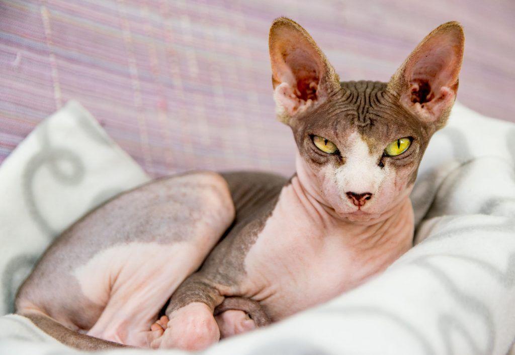 Najbardziej Dziwne Modne I Ekstrawaganckie Rasy Kotów Na świecie