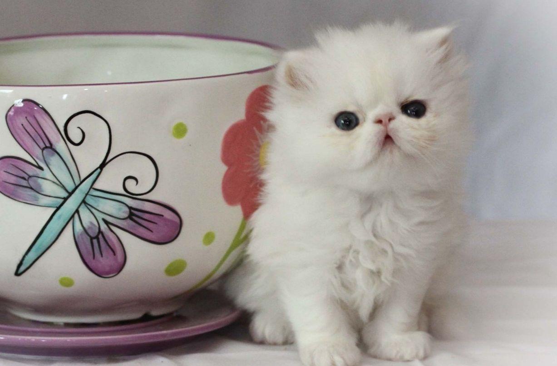 Teacup Persian Czyli Pers Miniaturowyfiliżankowy Zwierzosfera