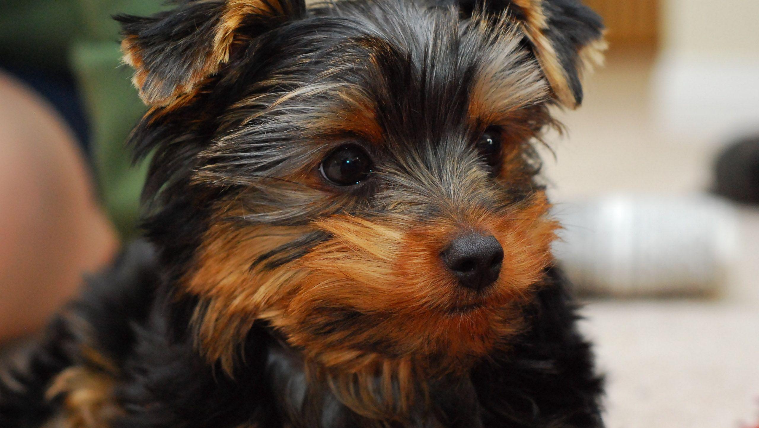 Ogromnie Pies York, czy dla każdego? Wady i zalety Yorków - Zwierzosfera SQ41