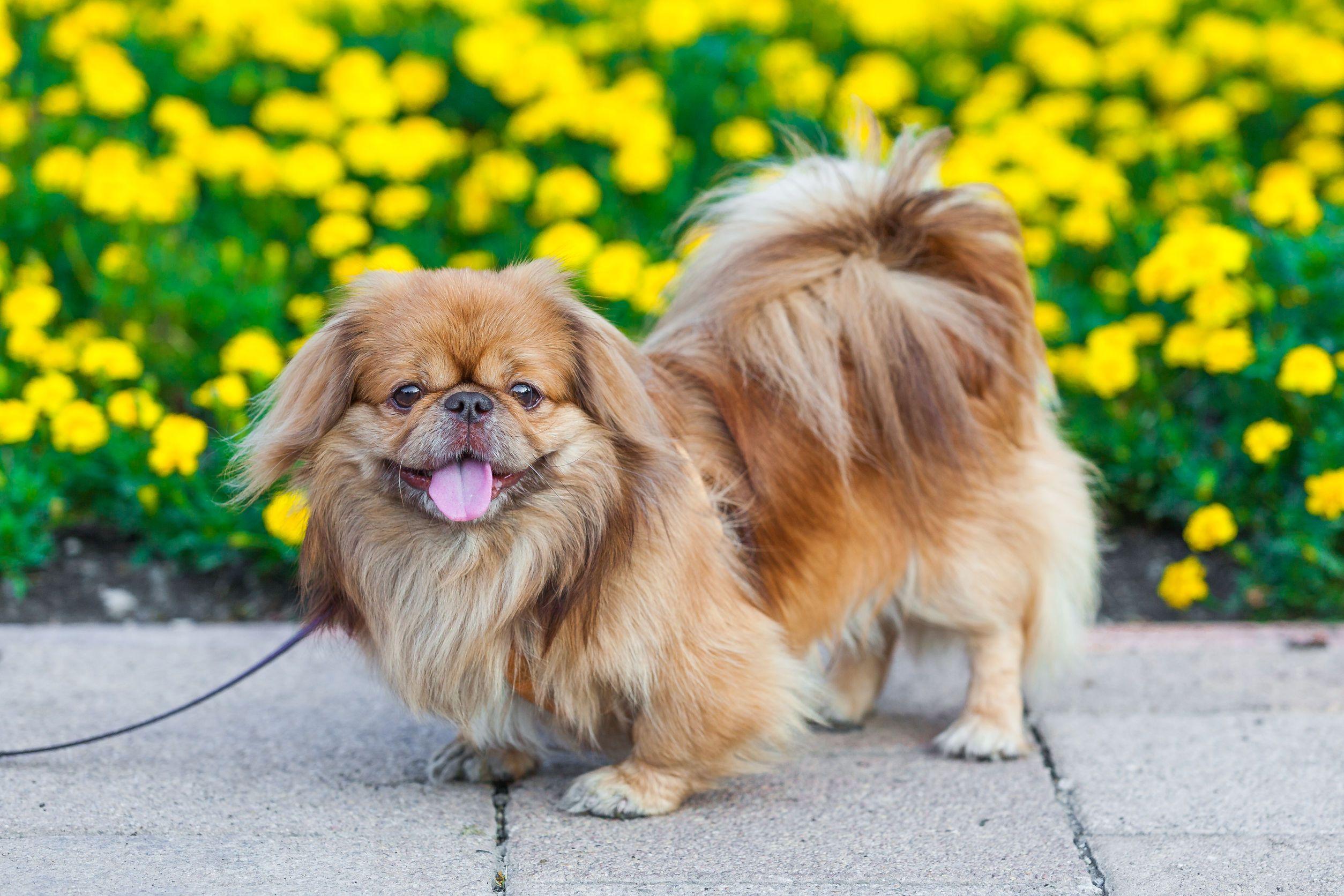 Dodatkowe Pieski kanapowe - Małe i miniaturowe rasy psów (cz. 1) - Zwierzosfera UV43