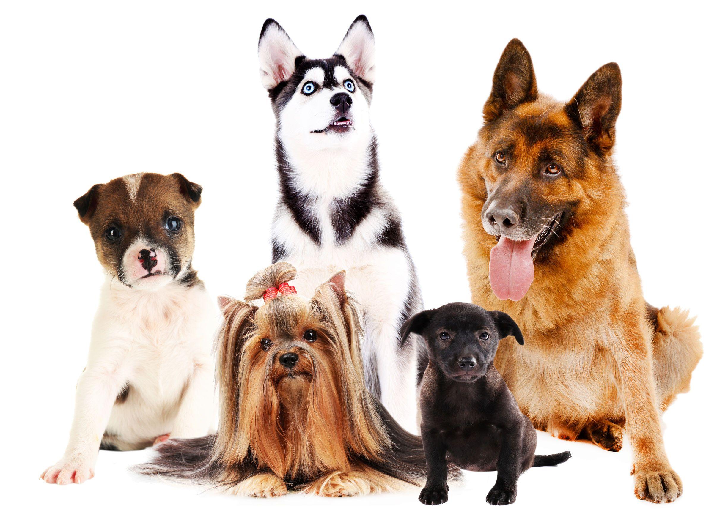 Chwalebne 10 najzdrowszych ras psów na świecie - Zwierzosfera OA37