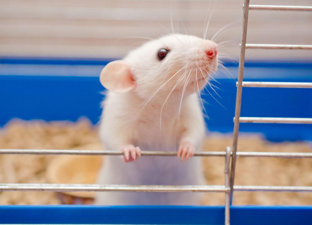 biały szczur