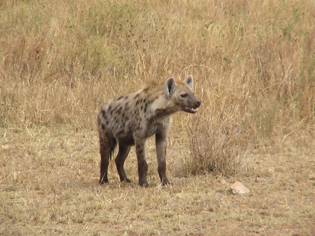 hiena cęntkowana
