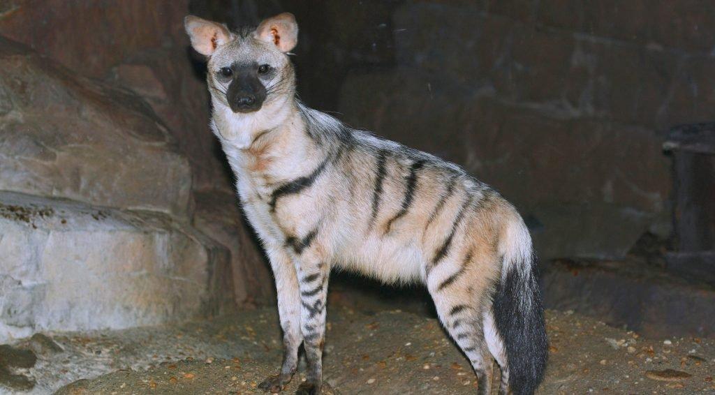 Hiena grzywiasta
