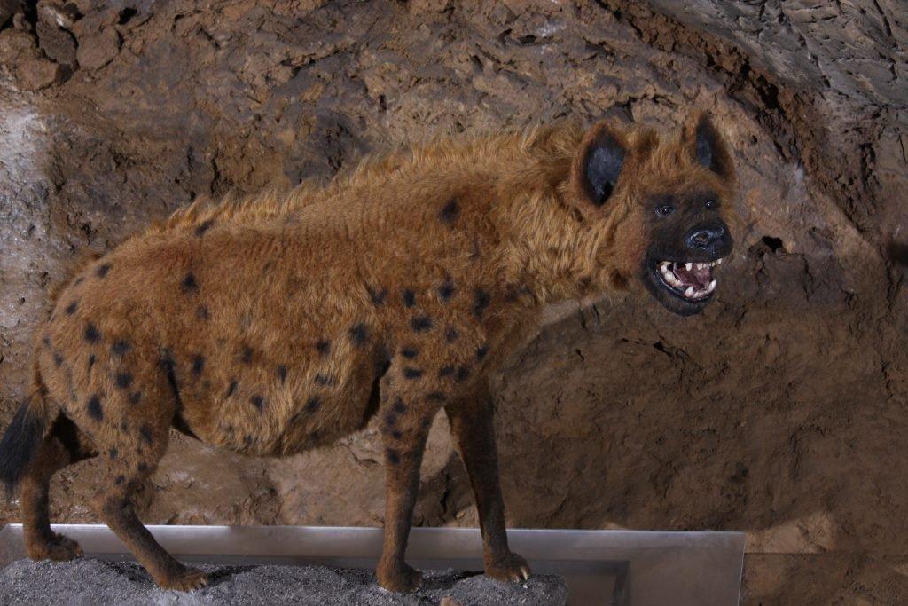 Wymarła hiena jaskiniowa
