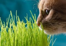 Kot jedzący trawe